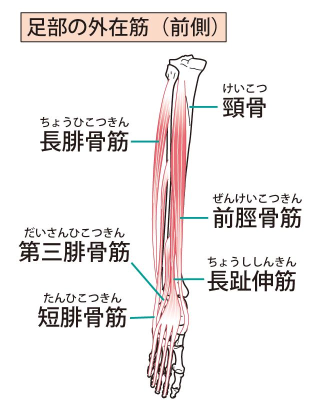 下肢のイラスト