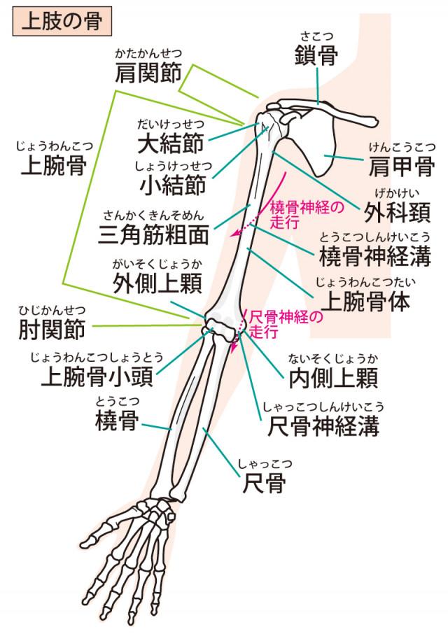 上肢筋肉のイラスト