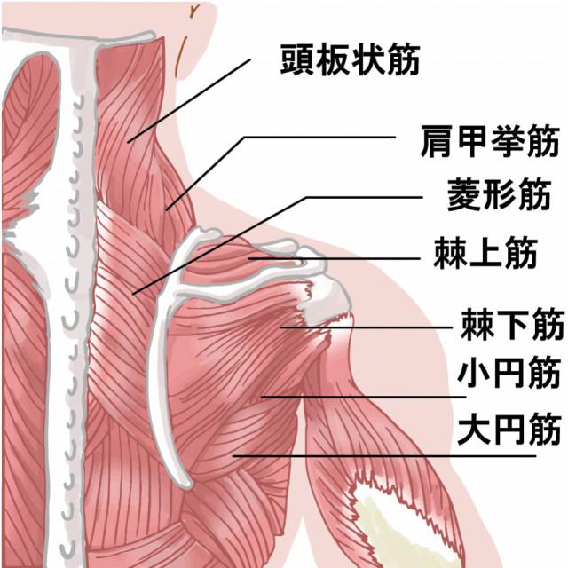 肩から首の筋肉イラスト