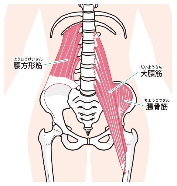 腰の筋肉のイラスト写真
